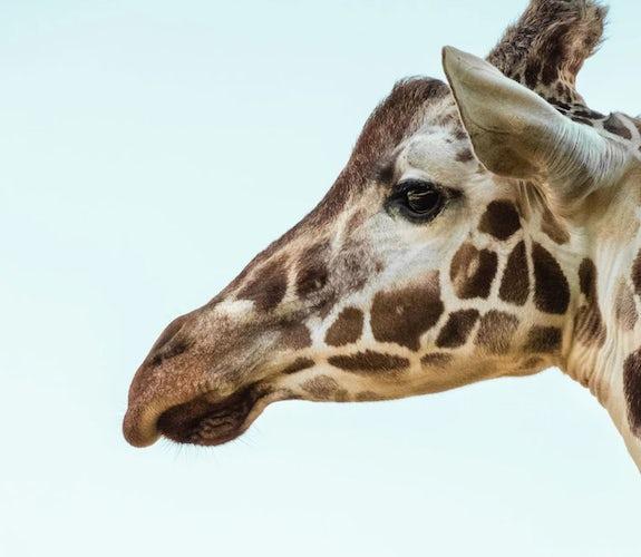 0002 Mooidrukwerk Giraffe